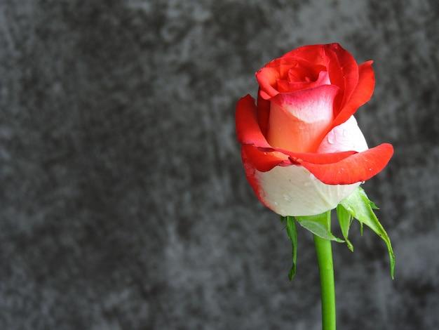 Mooie heldere roos op een grijze achtergrond. een cadeau voor een date op valentijnsdag. kopieer ruimte