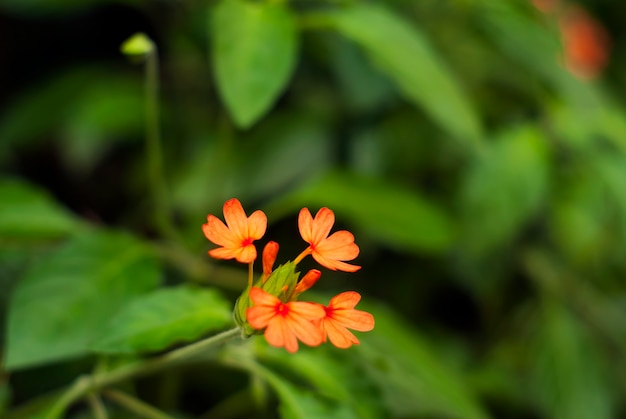 Mooie heldere vurige oranje bloemen van crossandra infundibuliformis (vuurzoekerbloem)