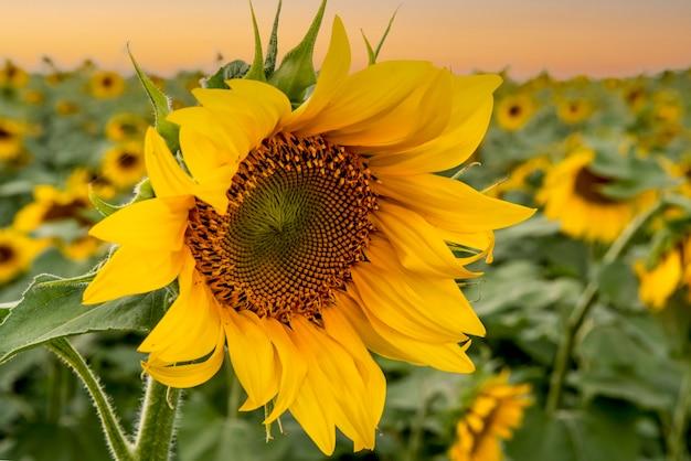 Mooie heldere zonnebloem close-up perfecte desktop wallpaper voor ontwerp en interieurdecoratie