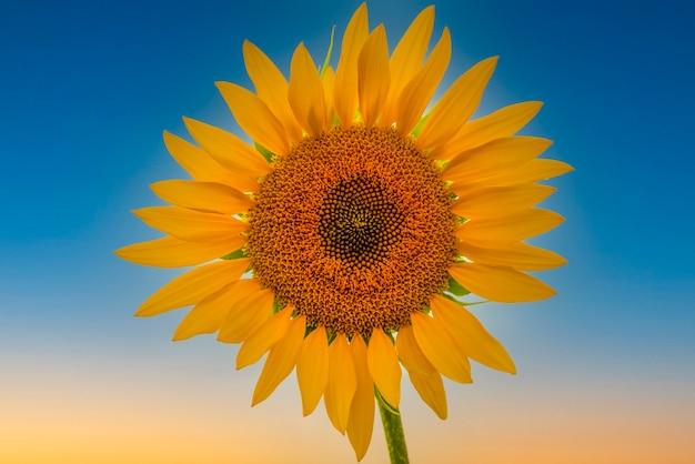 Mooie heldere zonnebloem tegen de blauwe lucht perfecte desktop wallpaper voor design en interieur