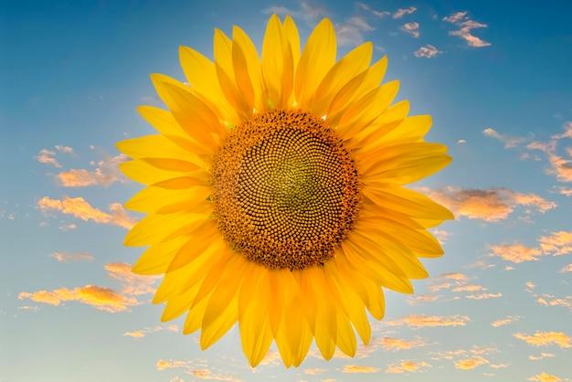 Mooie heldere zonnebloem tegen een blauwe lucht met gele wolken perfecte bureaubladachtergrond
