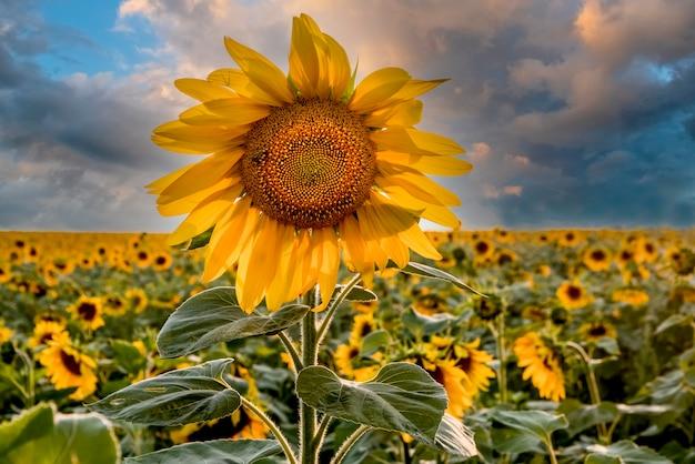 Mooie heldere zonnebloem tegen een stormachtige lucht perfecte desktop wallpaper voor design en interieur
