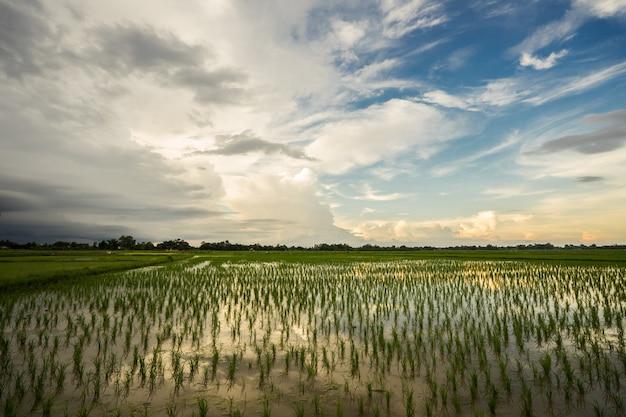 Mooie hemelzonsondergang achter padieveld.