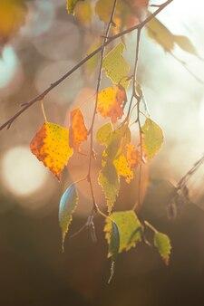 Mooie herfstachtergrond - takken met berkenbladeren