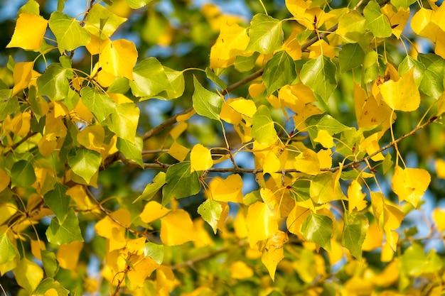 Mooie herfstkleur bladeren in een populierboom