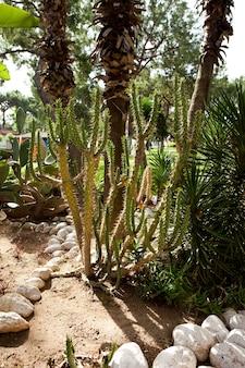 Mooie hoge cactussen tegen de achtergrond van palmbomen tuin en wandelgebied met groen...