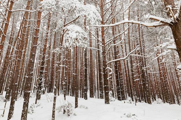 Mooie hoge volwassen bomen in de winter bedekt met sneeuw bij ijzig weer