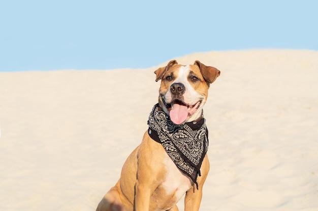 Mooie hond in bandana zit in zand buiten. schattige staffordshireterriër pup in zandstrand of woestijn op warme zomerdag