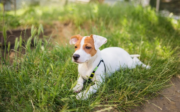 Mooie hond jack russell ligt op het gras en kijkt naar de camera