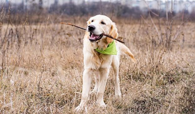 Mooie hond met stok in mond op veld