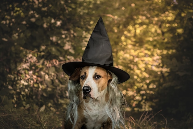 Mooie hond verkleed voor halloween als vriendelijke bosheks. leuke staffordshireterriër in kostuum van hoed en grijs haar op natuurlijke herfst bosachtergrond
