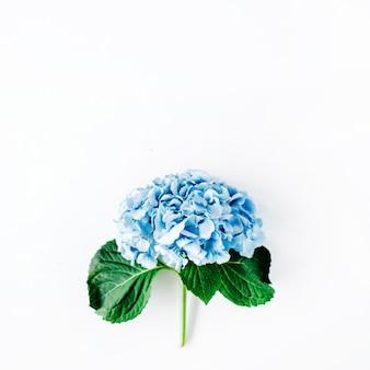 Mooie hortensia bloem geïsoleerd op wit