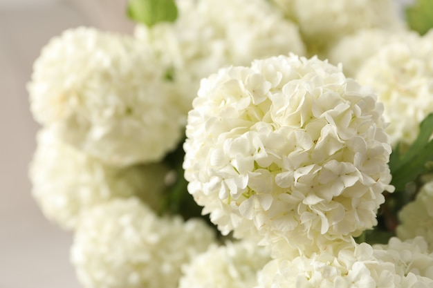 Mooie hortensia bloemen, close-up. lente plant