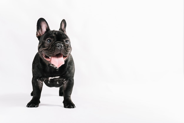 Mooie huisdierensamenstelling met buldog