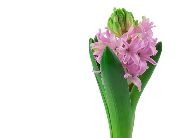 Mooie hyacint bloem met roze en paarse bloemblaadjes is geïsoleerd, close-up