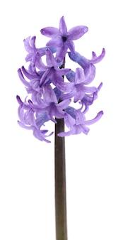 Mooie hyacint geïsoleerd op wit