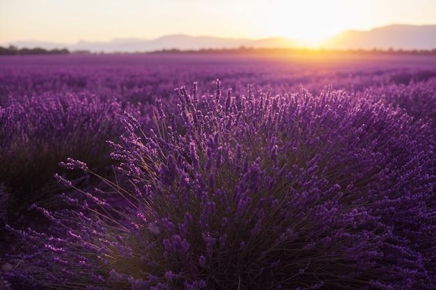 Mooie ijskoude velden bij zonsondergang. valensole, provence, frankrijk
