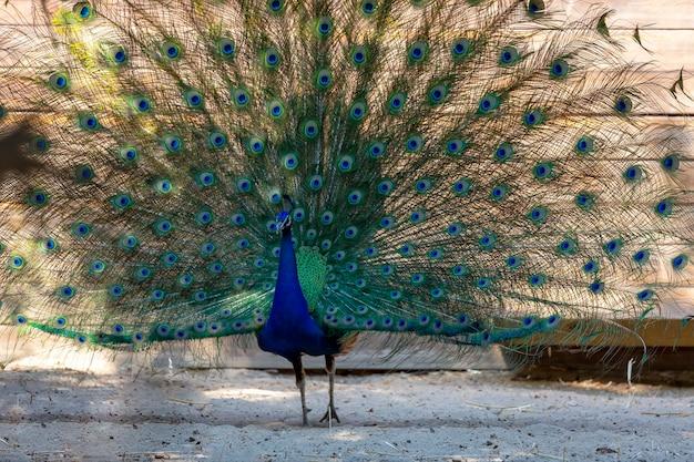 Mooie indische pauw met volledig gewaaierde staart en dansend op de grond. mannelijke vogel (pavo cristatus) staande in de tuin met lange en open staart. blauwe pauw die dichtbij houten huis loopt. detailopname