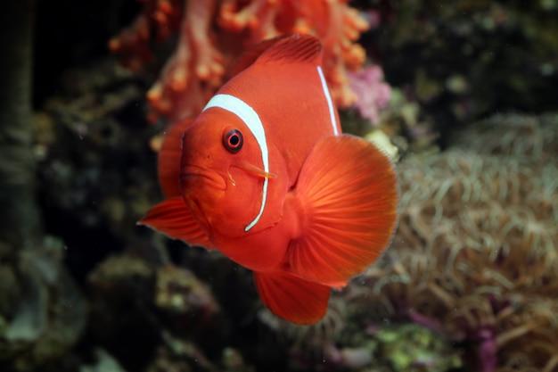 Mooie indonesische zeevissen op tropisch koraal