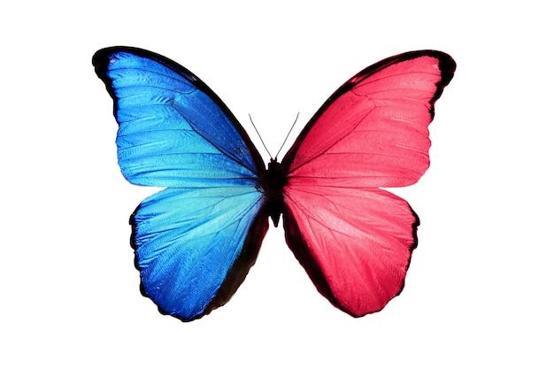 Mooie insectenvlinder met blauwe en roze vleugels. geïsoleerd op witte achtergrond