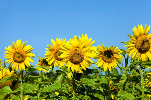 Mooie jaarlijkse zonnebloem in het veld