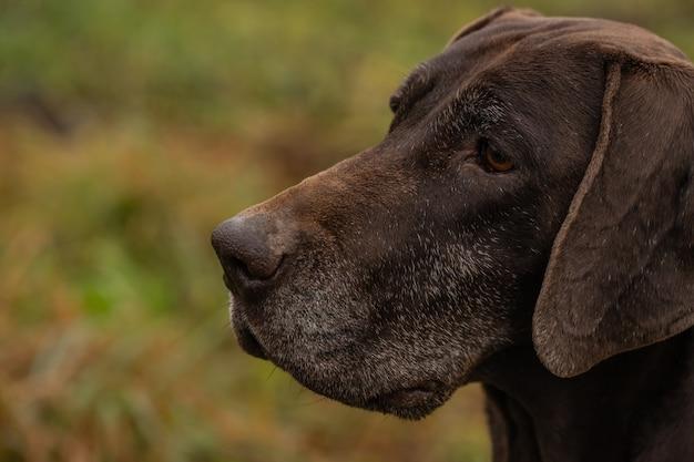 Mooie jachthond in een close-up van de kraag. een blik opzij.