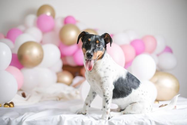 Mooie jack russel terrier hond met veel ballonnen op witte achtergrond