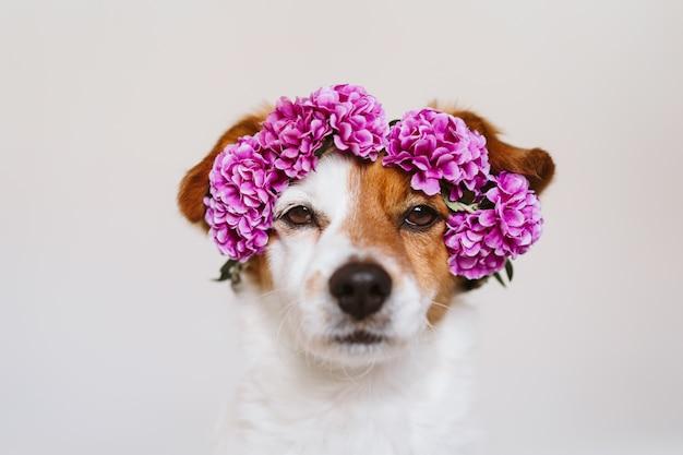 Mooie jack russell hond die thuis een purpere kroon van bloemen draagt. lente en lifestyle concept