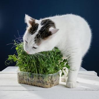 Mooie jonge witte kat die jonge spruiten van groene erwten snuift
