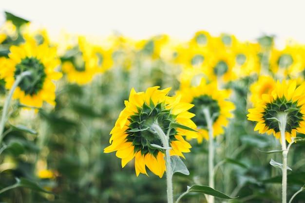 Mooie kaart met zomer geel zonnebloem veld. zonnebloem bloeit