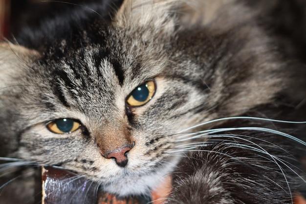 Mooie kat met blauwe ogen.
