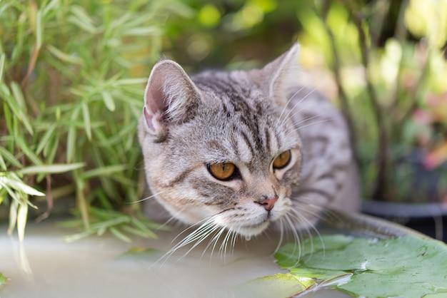 Mooie kat met mooie gele ogen drinkwater uit het bassin van de lotusklei in tuin