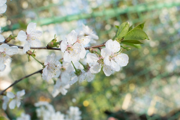 Mooie kersenbloemen in lentetuin. witte fruitbloesems in park
