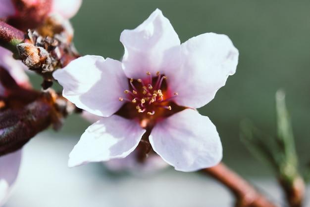 Mooie kersenbloemen. sakura