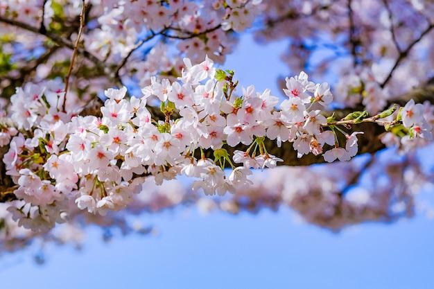 Mooie kersenbloesem of roze sakura-bloemboom in lentetijd