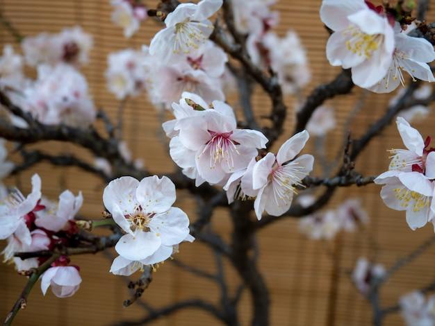 Mooie kersenbloesem op bruine muur in het voorjaar