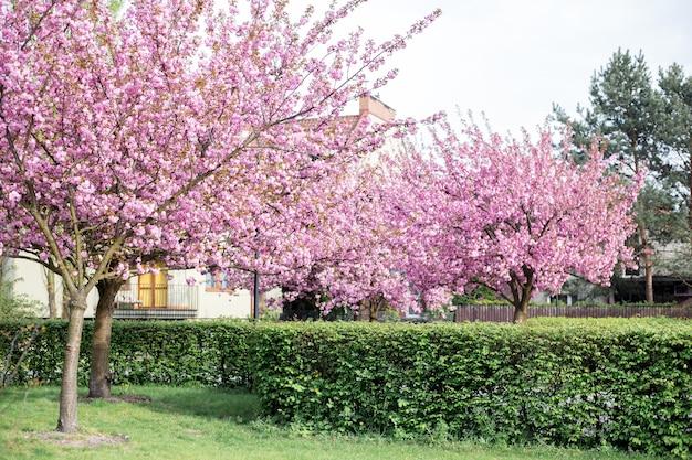 Mooie kersenbloesem sakura. japanse kersenbloesems in de lente