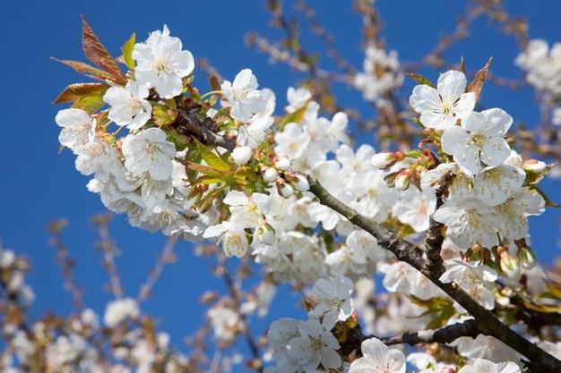 Mooie kersenbloesems in april bij de lente