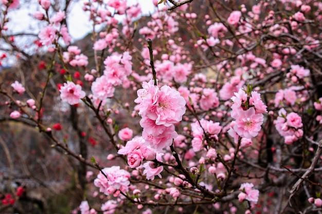 Mooie kersenbloesems. sakura bloemen in japan. reis lente tijd.