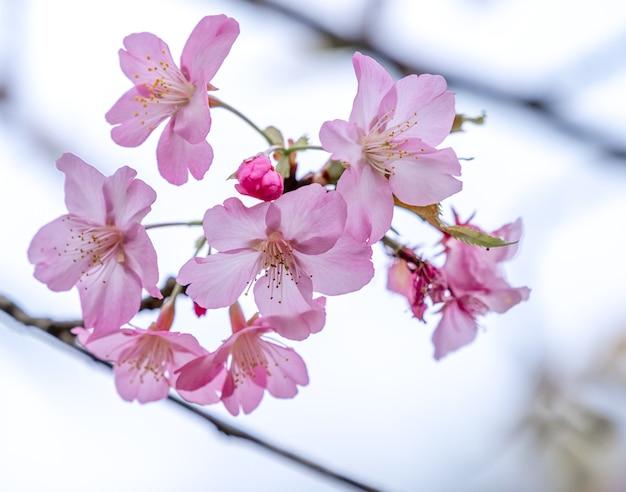 Mooie kersenbloesems sakura boom bloeien in het voorjaar in het park, kopieer ruimte, close-up.