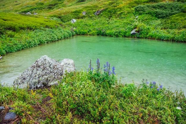 Mooie kleine blauwe bloemen van ridderspoor groeien aan de oever van het bergmeer met regendruppels op groen