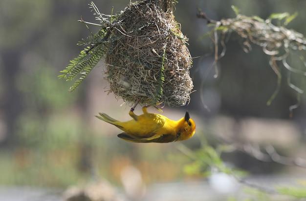 Mooie kleine gele vogel onder zijn nest