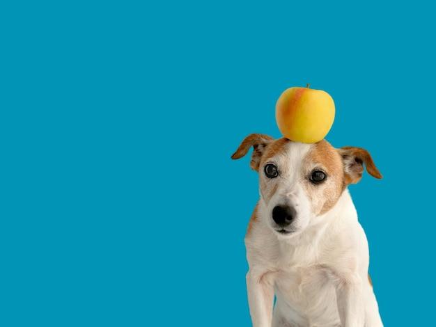 Mooie kleine hond met gele appel op hoofd staande op heldere blauwe achtergrond