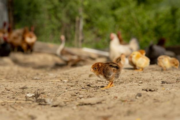 Mooie kleine kippen en kippen in de natuur
