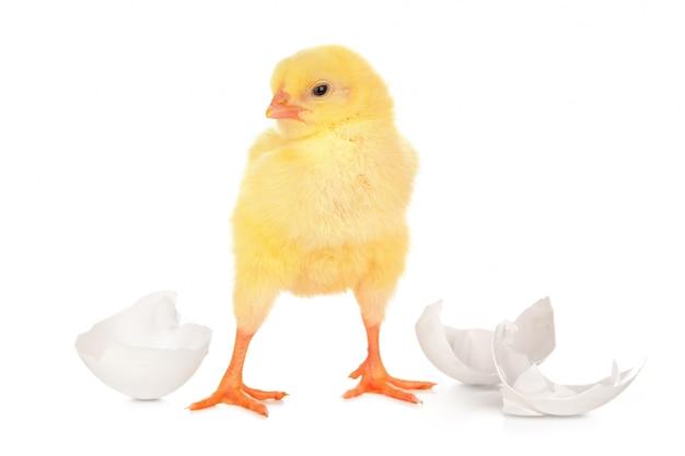 Mooie kleine kuiken en eierschaal geïsoleerd
