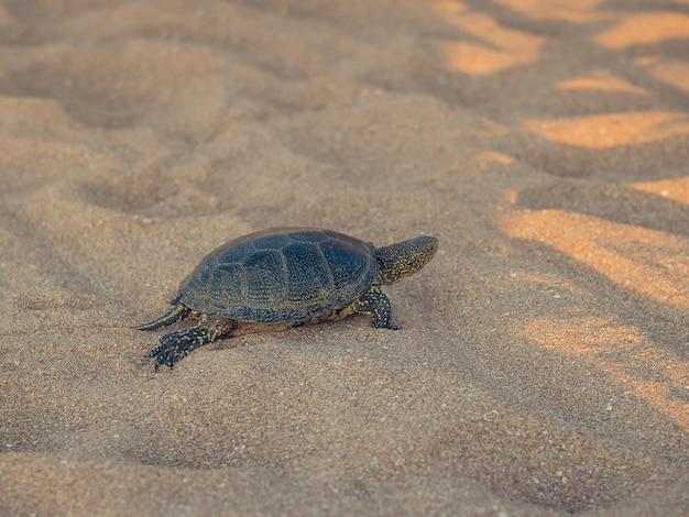 Mooie kleine schildpad die op het zand dichtbij het overzees kruipt.