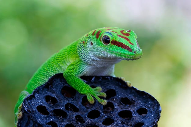 Mooie kleur madagaskar gigantische daggekko op droge knop met wazige achtergrond close-up