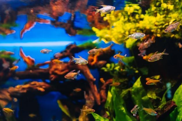 Mooie kleurrijke moenkhausia-pittierivissen die in water zwemmen