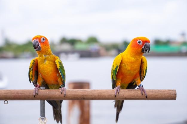 Mooie kleurrijke papegaai, sun conure (aratinga solstitialis), zat op branch stick.