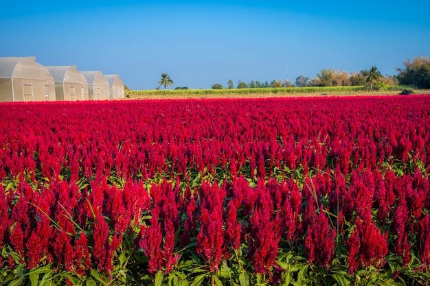 Mooie kleurrijke rode of roze cockscomb celosia bloemen patroon boerderij bloeien in de tuin lucht sfeer heldere blauwe lucht van de natuur achtergrond in kamphaeng phet, thailand